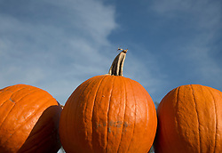beautiful pumpkins against a blue sky