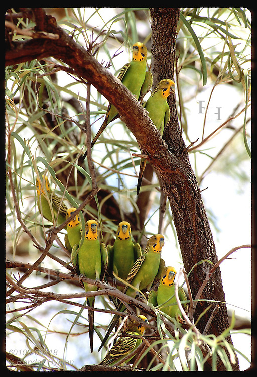 Nine budgerigar birds perch together in branches of tree in Tanami Desert. Australia