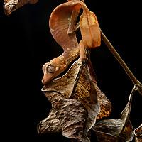 Satanic Leaf-tailed Gecko (Uroplatus phantasticus), female