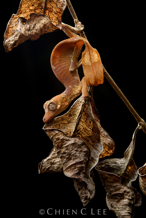 Satanic Leaf-tailed Gecko (Uroplatus phantasticus), female