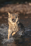 Wolf(Canis lupes)crossing stream