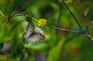 A White Peacock Butterfly gathering nectar in the Six Mile Cypress Slew near Fort MYers, Florida.