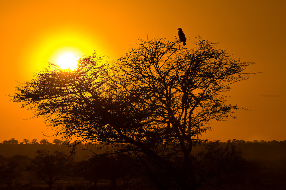 A tawny eagle sits atop an acacia tree at sunset, Tarangire National Park, Tanzania