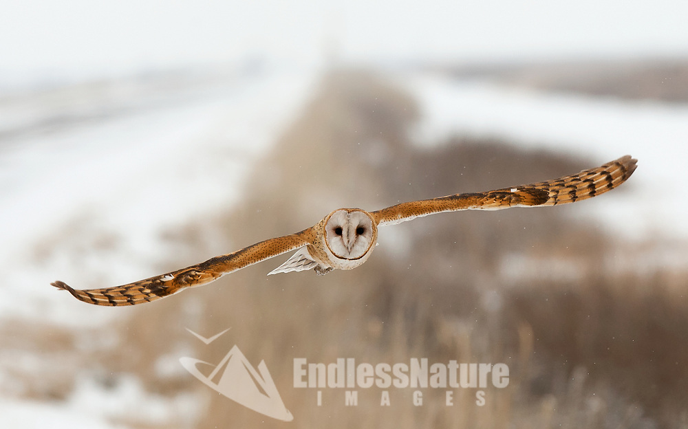 February 2016 Bear River Bird Refuge in northern Utah freezing temperatures in the valley locations keep the Barn Owls busy looking for food in the marsh lands during the day, They need to feed about every two hours to stay warm.