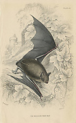 Natterer's Bat (Myotis nattereri) small mouse-like flying mammal. From 'British Quadrupeds', W MacGillivray, (Edinburgh, 1828), one of the volumes in William Jardine's Naturalist's Library series. Hand-coloured engraving.