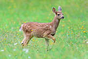 Black-tailed Deer Fawn, Pacific Northwest