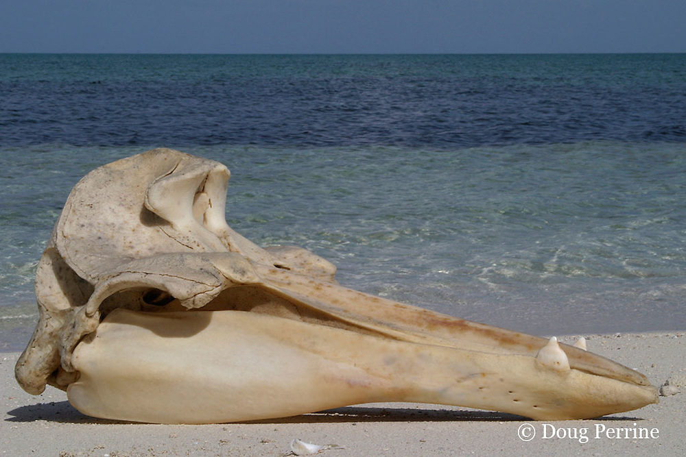 skull of stranded Gervais' beaked whale, Mesoplodon europaeus, Sandy Point, Great Abaco, Bahamas
