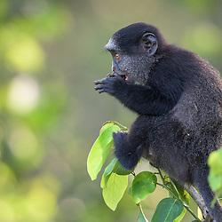 Macaco azul de Angola (Cercopithecus mitis mitis). Uma sub-espécie endémica (exclusiva) de Angola. Fotografia tirada na floresta de mangal ao longo do rio Kwanza perto da foz. Província do Bengo. Também conhecido como Macaco Plutão de Angola. Sinónimos em Latim: diadematus, dilophos, leucampyx, nigrigenis, pluto. Fauna de Angola