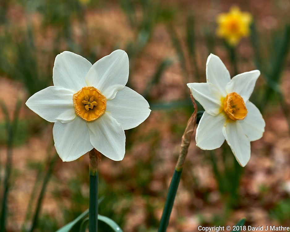 Daffodil Flowers. Image taken with a Fuji X-H1 camera and 60 mm f/2.4 macro lens (ISO 200, 60 mm, f/5.6, 1/125 sec).