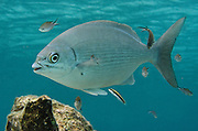 Chub Bermuda/Yellow (Kyphosus sectatrix/incisor)<br /> BONAIRE, Netherlands Antilles, Caribbean<br /> HABITAT & DISTRIBUTION: Schools swim over reefs & along walls.<br /> Florida, Bahamas, Caribbean, north to Massachusetts, Bermuda & south to Brazil.