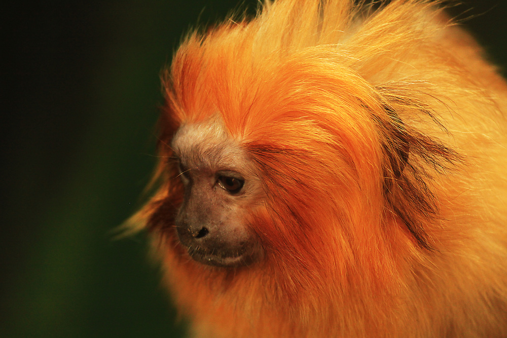 A colour portrait of a (captive) monkey