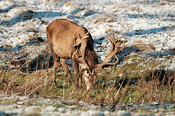 Red Deer stags forage for food in the snow.<br />