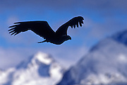 Image of a bald eagle in flight on the Kenai Peninsula, Alaska, the bald eagle is a bird of prey and national bird and symbol of the United States of America