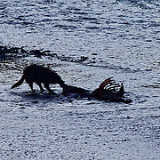 Yellowstone Wolf Silhouette
