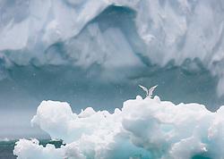 Antarctic Tern (Sterna vittata) in front of iceberg in Antarctica