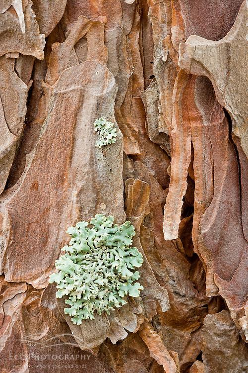 Lichen on the bark of a red pine tree near Seboeis Lake.  Near Millinocket, Maine.  Pinus resinosa.