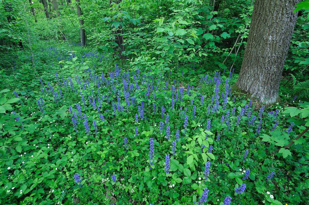 Meadow Clary, Salvia pratensis, Werbkowice-Zamosc, Poland
