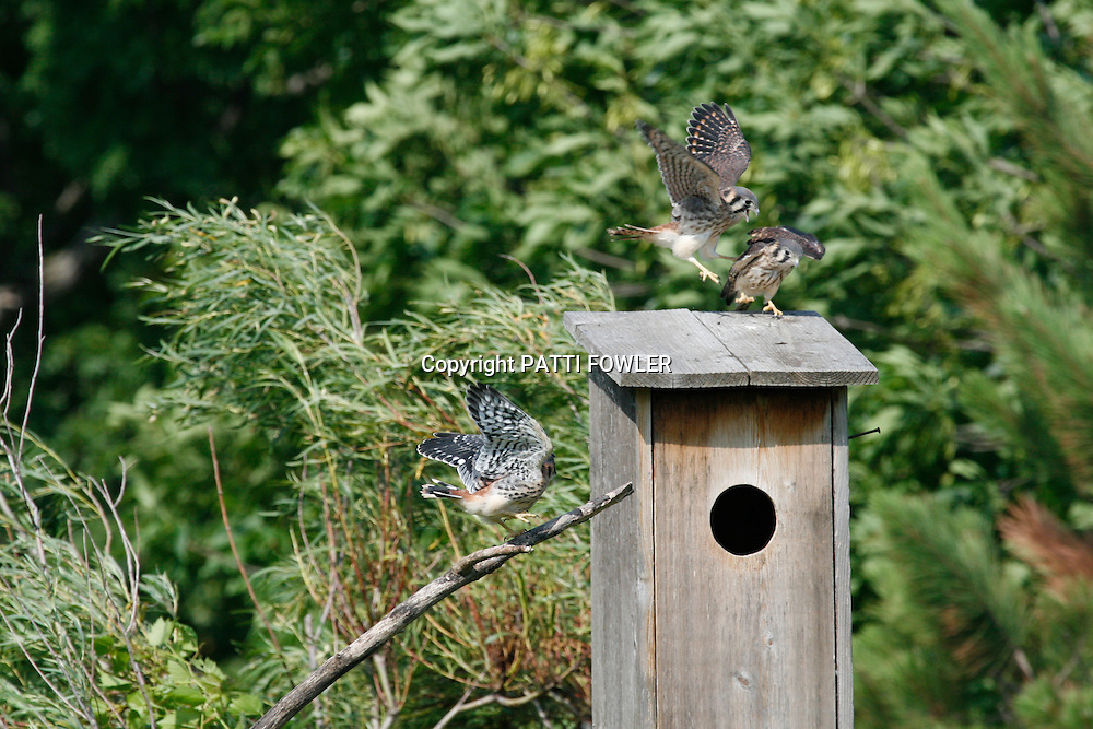 American Kestrel fledglings