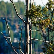 Closeup of tree branches overlooking Oak Creek Canyon - AZ