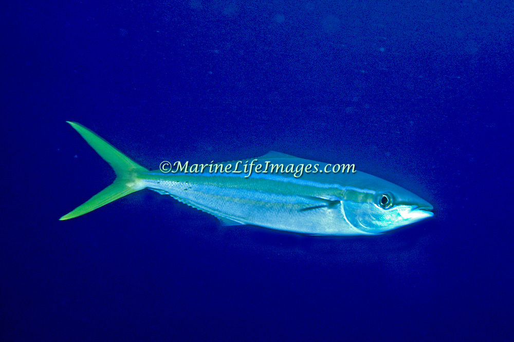 Rainbow Runner inhabit open water in Tropical West Atlantic, also circumtropical; picture taken Grand Cayman.