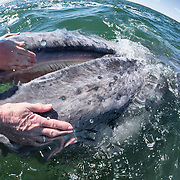 Some grey whale (Eschrichtius robustus) calves are highly inquisitive and seem to seek out interaction with people. This calf and its mother approached the boat on multiple occasions, with the calf seeking out direct contact. The juvenile seemed to enjoy being petted by people on the boat, and to have its baleen plates stroked. Hairs are clearly visible on the whale, showing clearly that it is a mammal.