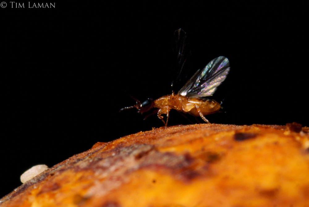 A female gravid wasp after having mated in a strangler fig and emerged, flies off to another fig guided by chemical attractions to begin the life cycle anew.