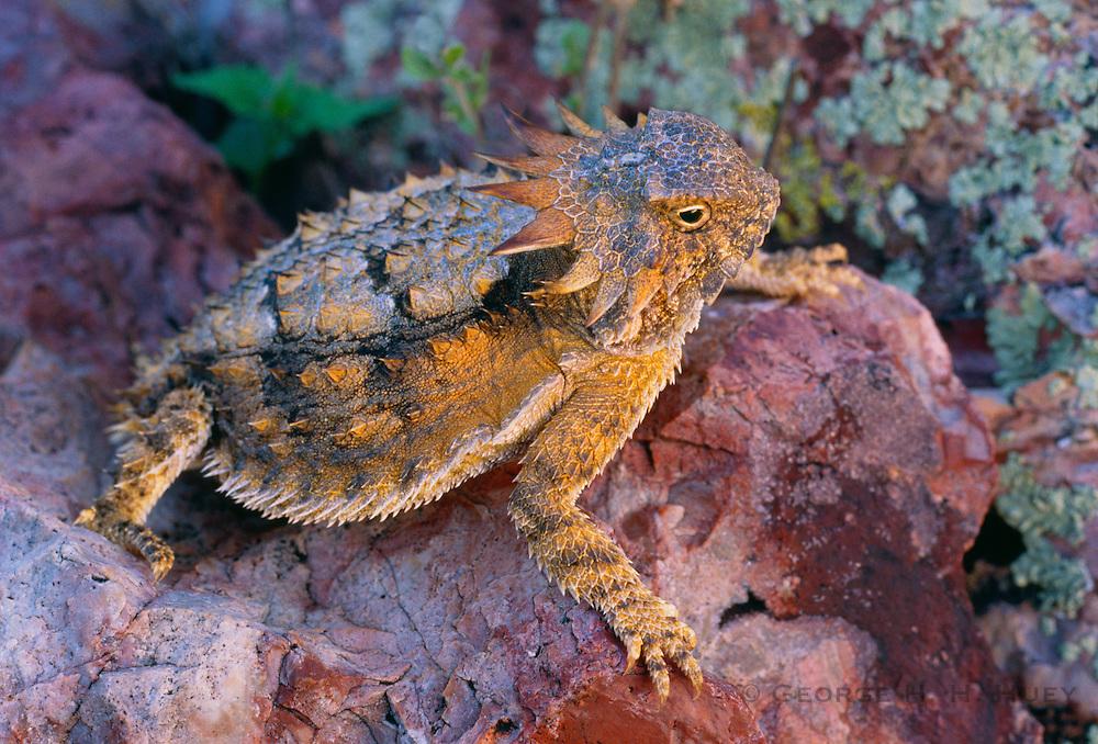350101-1062H ~ Copyright: George H. H. Huey ~ Regal horned lizard (Phyronosoma solare). Sonoran Desert, Arizona.