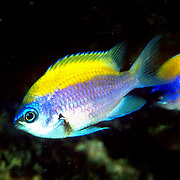 Sunshinefish, juvenile, inhabit deep reefs and walls in Tropical West Atlantic; picture taken Venezuela.
