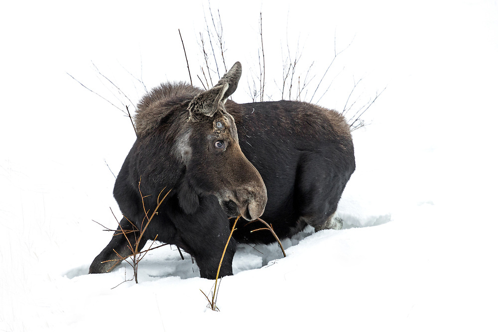 Willow provides one of the few sources of nutrition to sustain this bull moose during the last days of winter. Moose may lose up to 25 percent of their body weight if there is heavy snowcover causing food to become scarce.