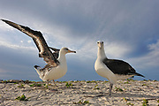 Two laysan albatross courtship dance and display, on a sandy beach, and unfurl wings.