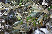 Griekenland, Nafplion, 5-7-2008Olijfboom met olijven.Foto: Flip Franssen