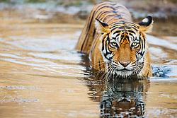 An endangered Bengal tiger (Panthera tigris tigris) standing in a water hole,Ranthambhore National Park, Rajasthan, India,