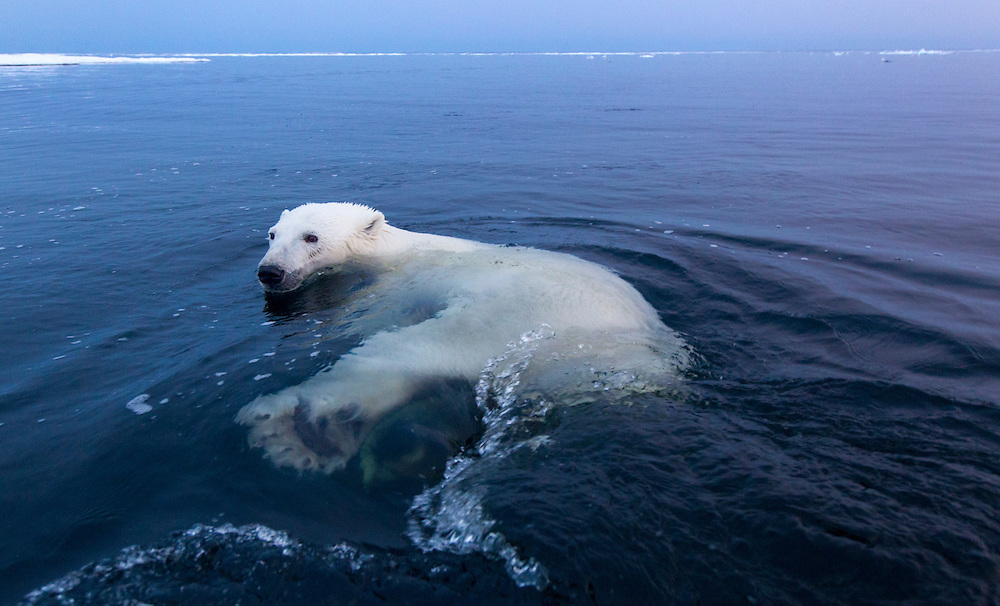 Canada, Manitoba, Churchill, Polar Bear (Ursus maritimus) swimming in open water in Hudson Bay on summer evening