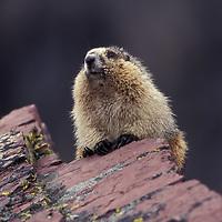 Hoary marmot. Glacier National Park, Montana.