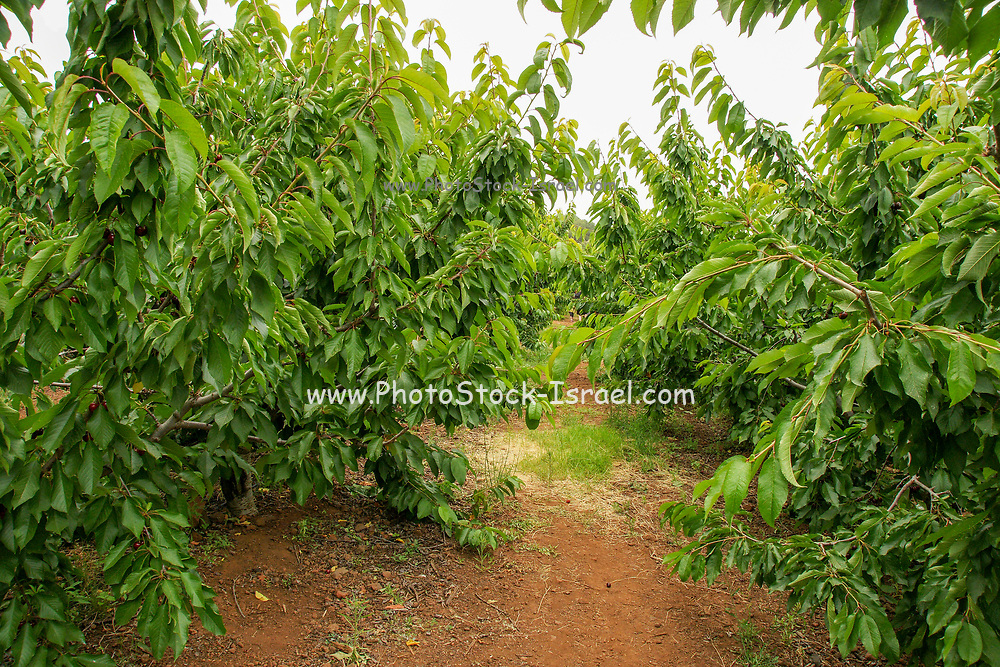 Self picking Cherry plantation Photographed at Moshav Odem, Golan Heights, Israel