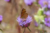 Phyciodes pulchella (Field Crescent) at Cherry Hill, Tulare Co, CA, USA, on 08-Jul-17