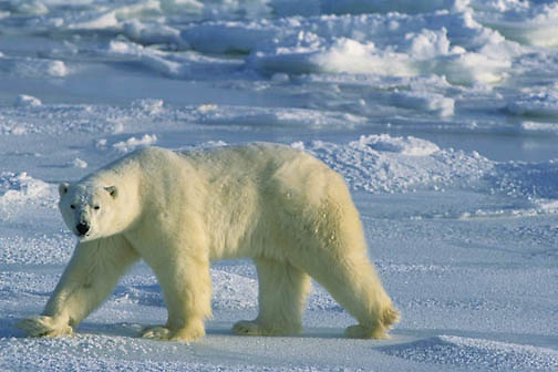 Polar Bear, (Ursus maritimus) Portrait of adult waiting for Hudson Bay to freeze. Manitoba. Canada.
