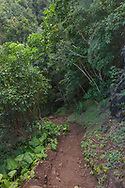 Kalalau Trail on the Na Pali Coast passes through topical forest on the steep slopes of northeastern Kauai, Hawaii, © 2010 David A. Ponton