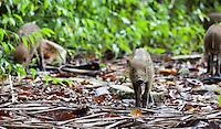 Bearded Piglets, Sus barbatus, Bako National Park, Sarawak, Malaysia