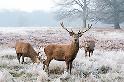 © Licensed to London News Pictures. 23/01/2015. Richmond, UK. Stags graze amongst the frost.  A cold frosty morning in Richmond Park, Surrey today 23rd January 2015. The UK is experiencing some very cold weather. Photo credit : Stephen Simpson/LNP