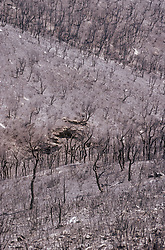Hillside after a fire; with burnt charred remains of trees and shrubs near Roses Rosas; Catalunya,