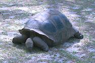 Aldabra Atoll, The Seychelles<br /> Giant tortoise<br /> c. Ellen Rooney
