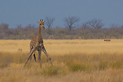 A giraffe positions itself as if a tripod near a water source in Namibia. This position, although necessary, also makes the giraffe vulnerable to predators.