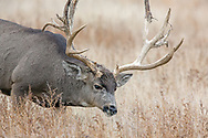 Enormous non-typical mule deer buck in habitat