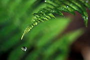 rain water fallinf rom a fern, western Oregon.