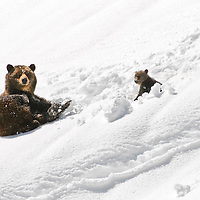 grizzly bear sow and newborn cub in snow bank, glacier national park, montana