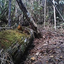 Sabiá-da-mata (Turdus fumigatus) fotografado na Reserva Biológica de Sooretama em Linhares, Espírito Santo, Brasil. Registro feito em 2013 <br /> <br /> ENGLISH: Cocoa Thrush photographed in Sooretama Biological Reserve in Linhares, Espírito Santo, Brazil. Picture made in 2013.