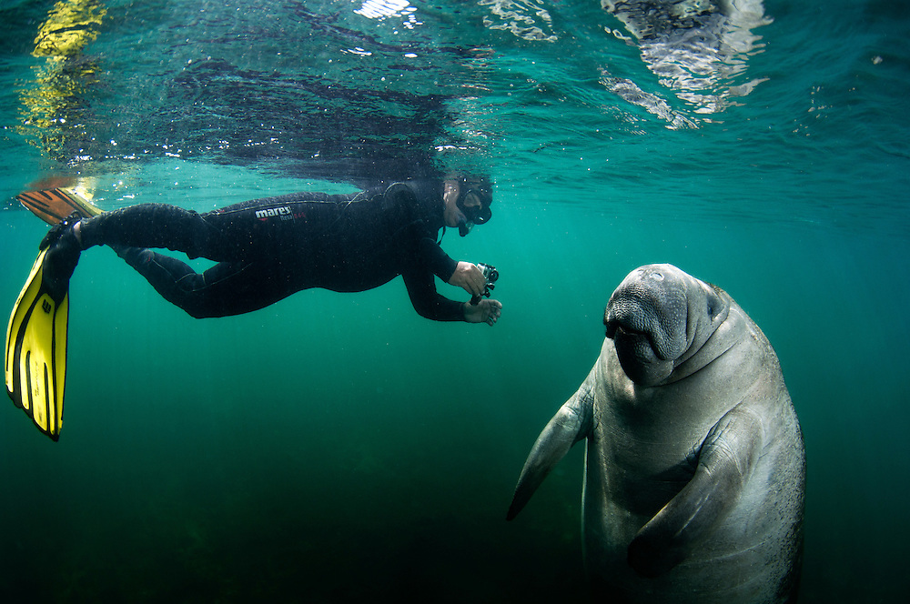A snorkeller films a manatee with an action camera