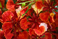 Royal Poinciana Tree Delonix Regia #12