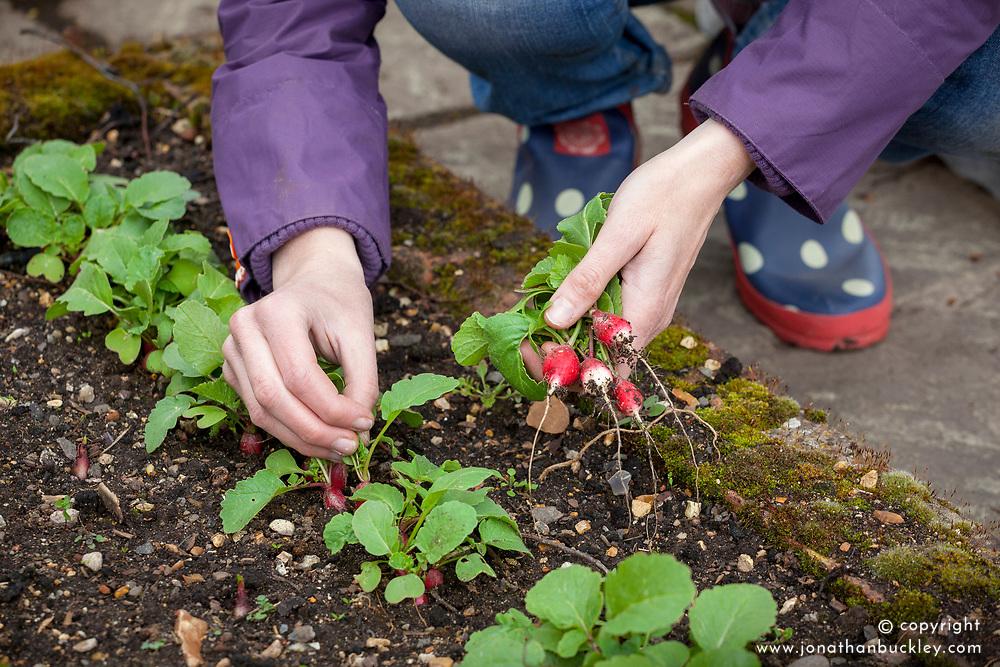 Harvesting early radish
